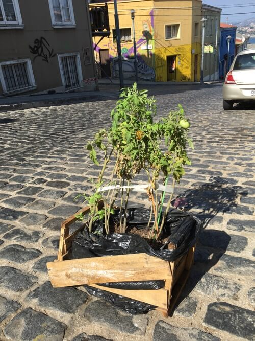 Tomato Plant in Street on 100 Days of Real Food