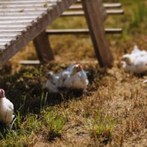 SVO Farmer Focus Farm Chickens