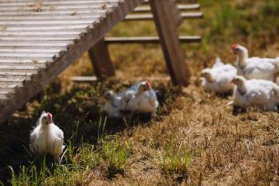 SVO Farmer Focus Farm Chickens